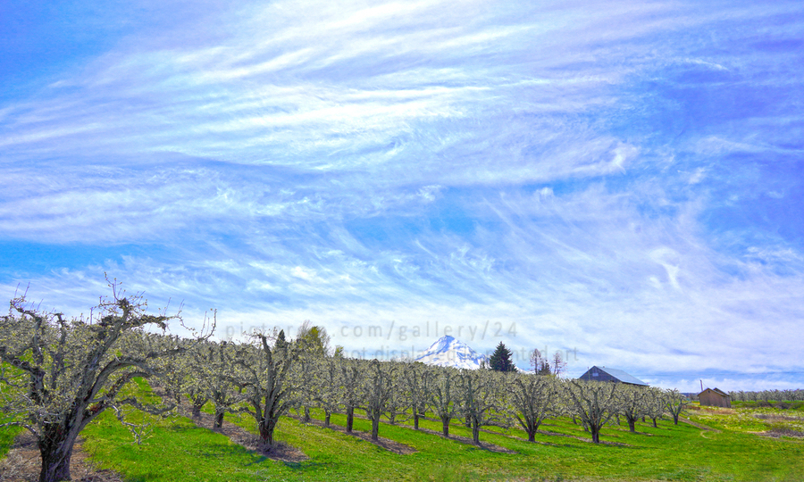 Spring in the Orchard Hood River Valley Oregon  Print