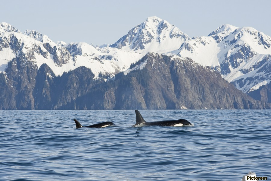 killer whale, or orcas, Orcinus orca, cow and calf swimming in Resurrection Bay, Kenai Fjords National Park, outside Seward, southcentral Alaska, spring  Print