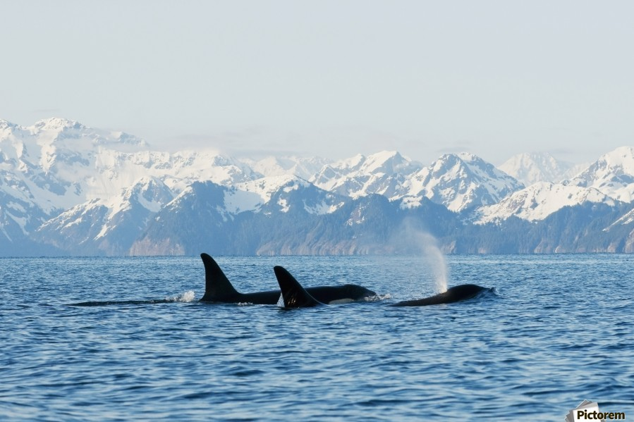 killer whale, or orcas, Orcinus orca, pod in traveling in Resurrection Bay, Kenai Fjords National Park, outside Seward, southcentral Alaska, spring  Print