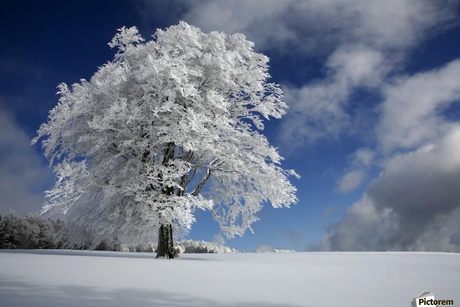 White Windbuche in Black Forest  Print