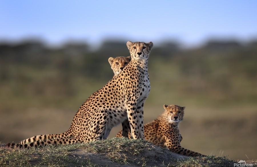 Cheetahs Family  Print