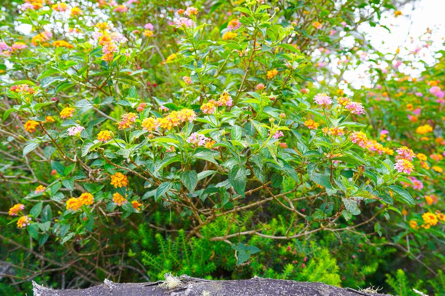 Wild Flowers Waimea Canyon Kauai  Print