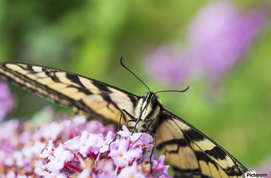 A swallowtail butterfly seeks nectar on a butterfly bush; Astoria, Oregon, United States of America  Print