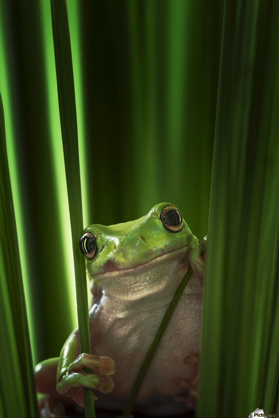 Green Frog  Print