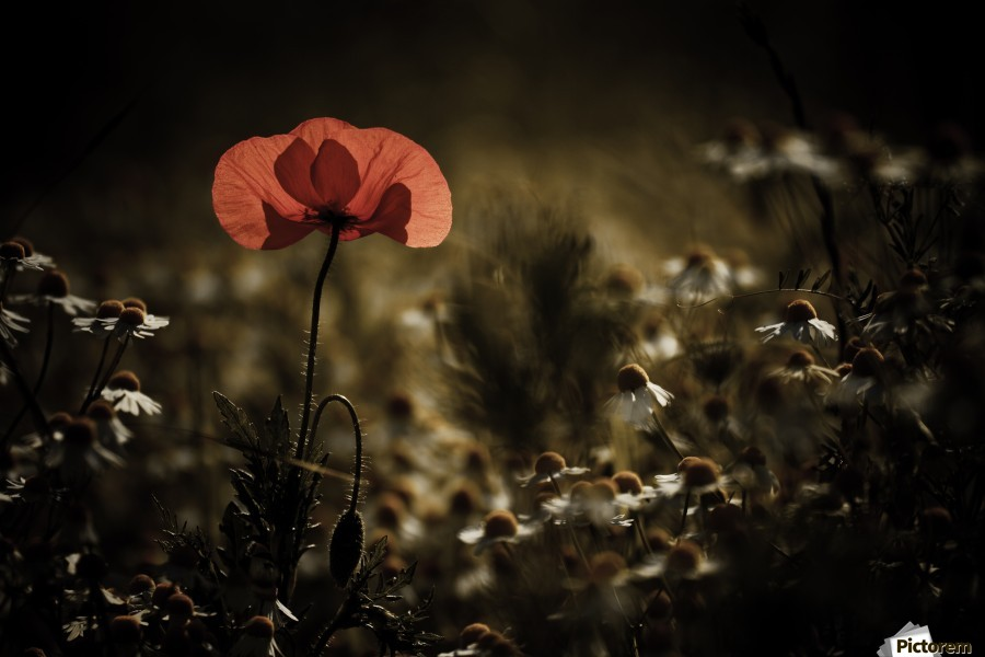 A bit of warmth , 1x , POPPY,FLOWERS,FIELD,MEADOW,MACRO,FLOWER,RED,ROMANCE,ROMANTIC,BOKEH