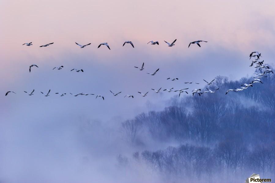 Snow Geese  Print