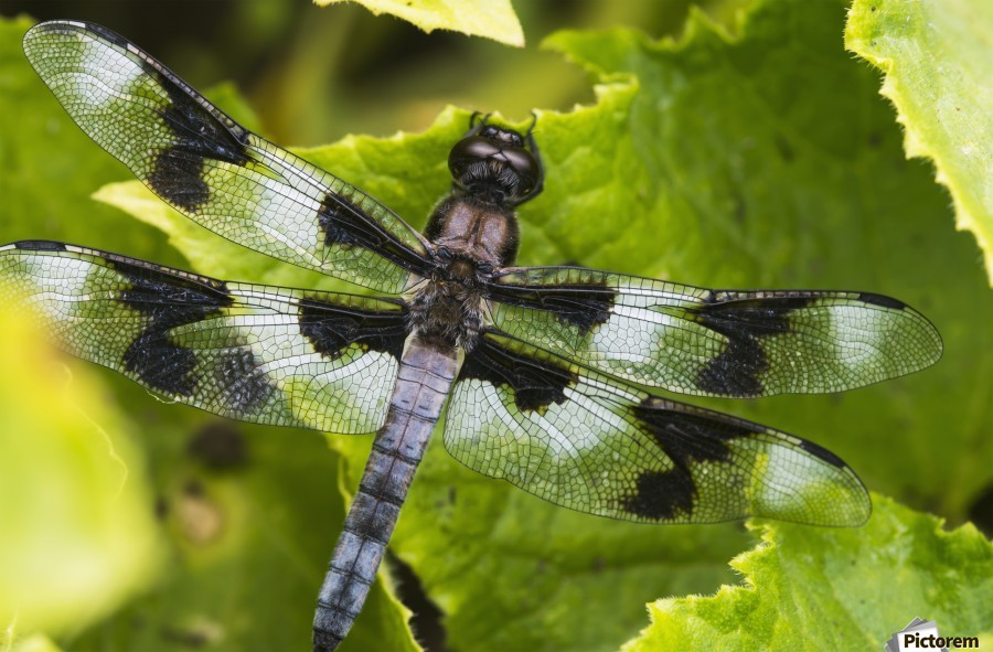 A dragonfly warms up in a vegetable garden; Astoria, Oregon, United States of America  Print