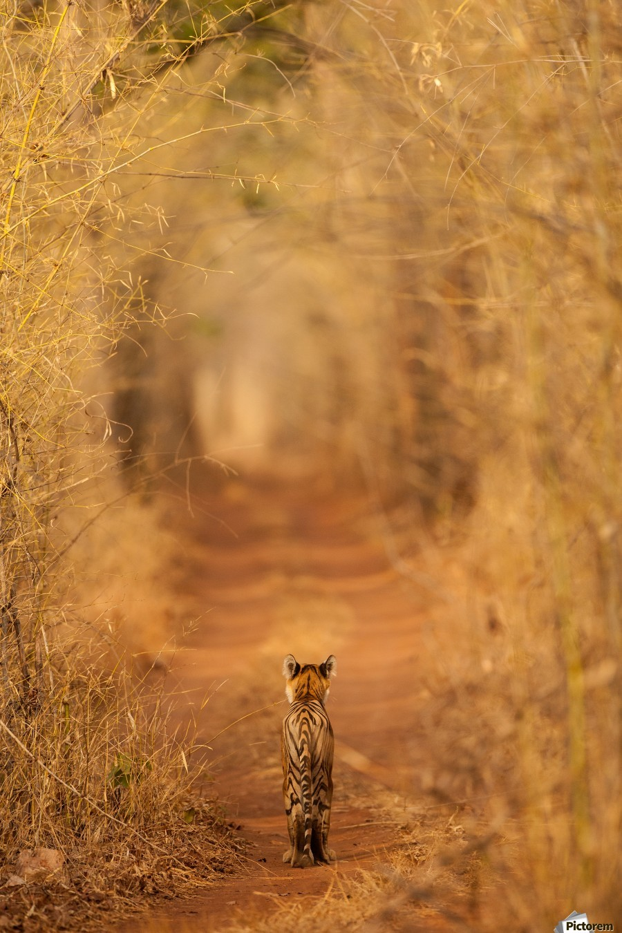 The Tiger in  the Tunnel  Print
