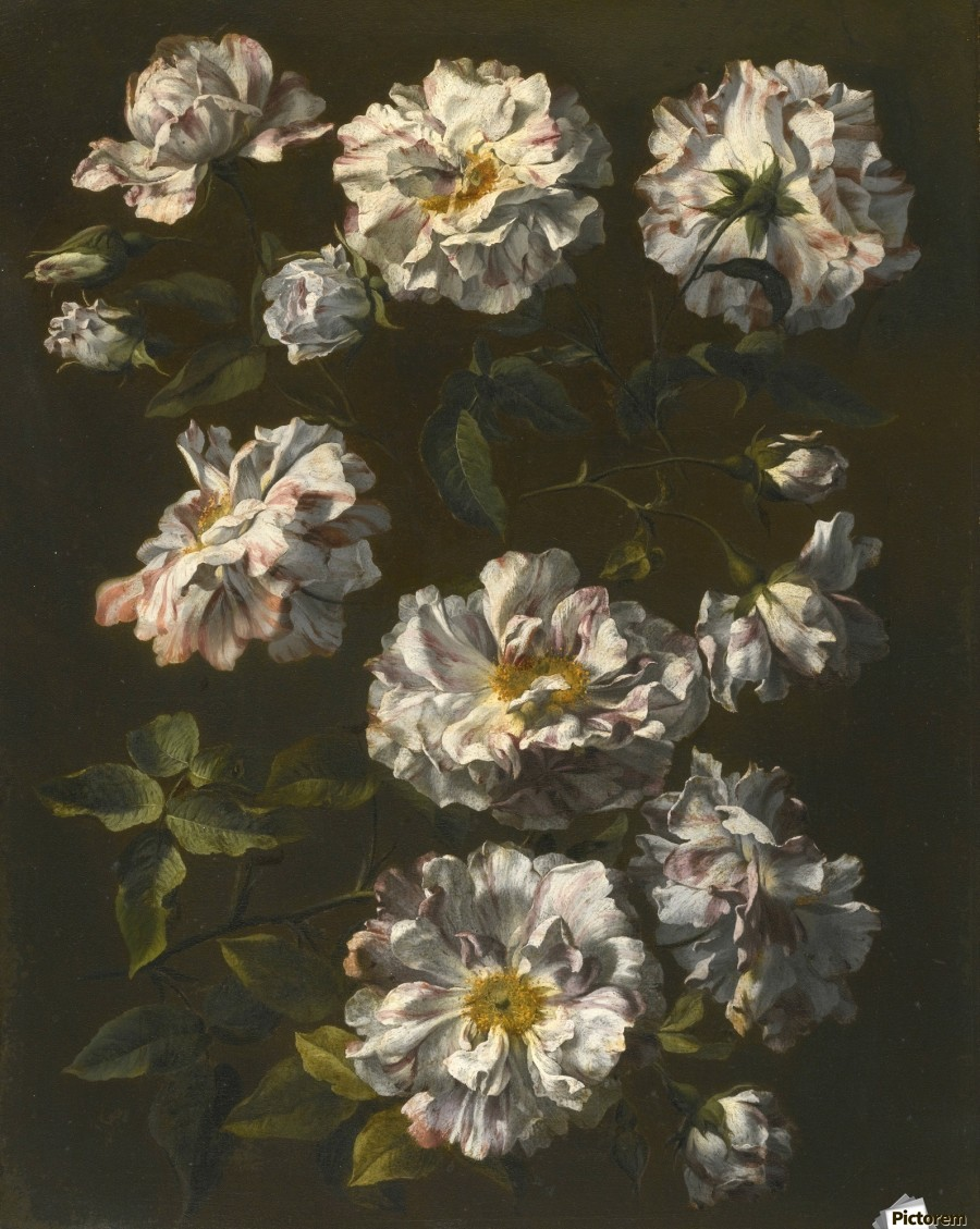A study of striped white gallica roses  Print