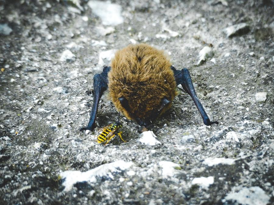 When a baby bat meets a bee.  Print