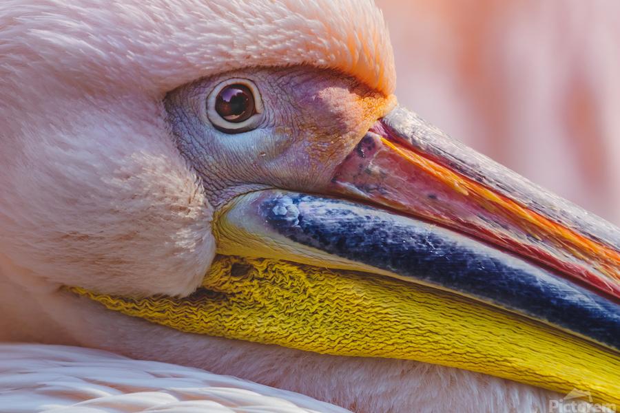 Pelican portrait  Print