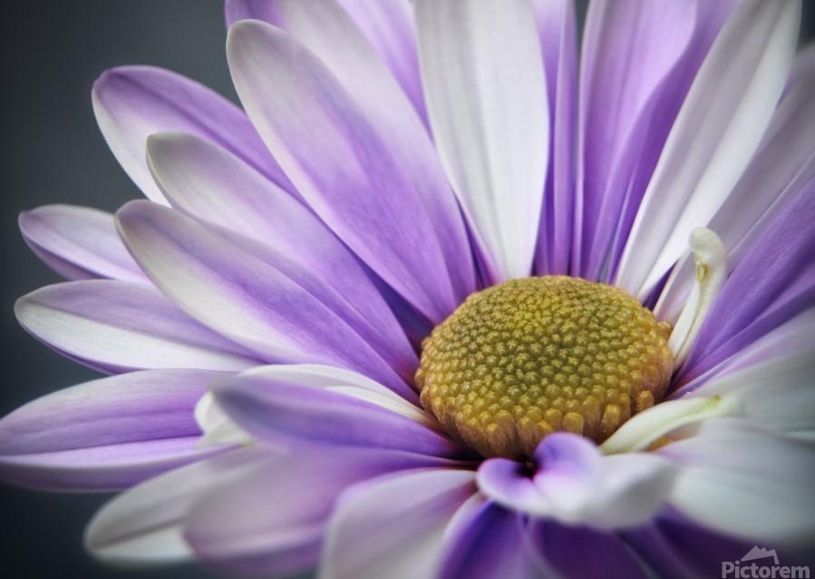 Purple Daisy  Print