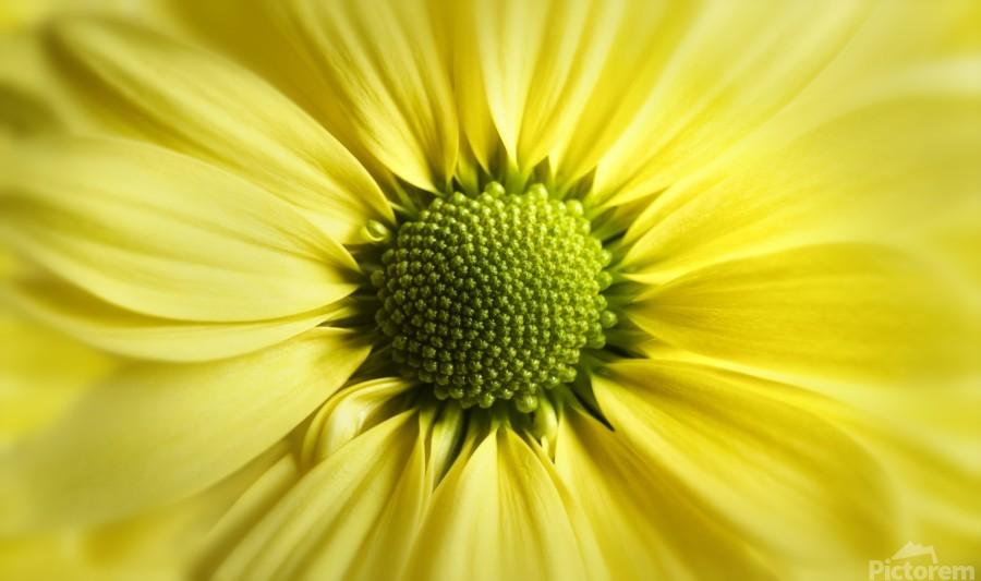 Yellow Daisy  Print