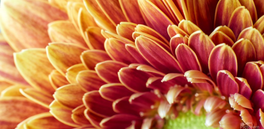 Golden Chrysanthemum  Print