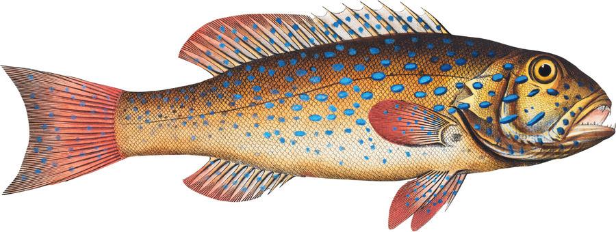Vintage Fish Wall Art Prints   Print