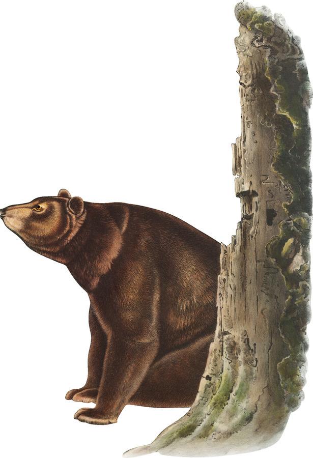 Bear Print  Print