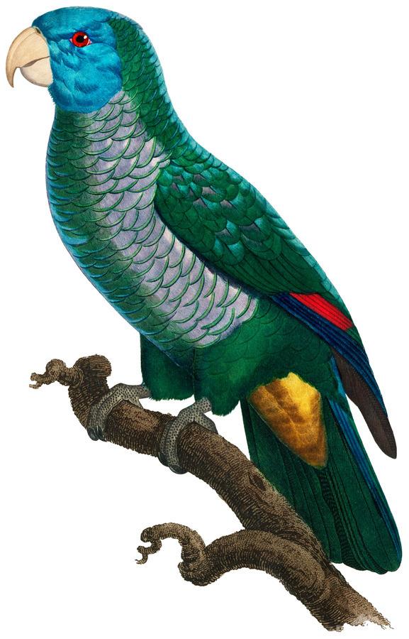 Yellow and Green Parrot Art Print Digital Download Vintage French Bird Illustration Printable Coastal Tropical Wall Art  Print