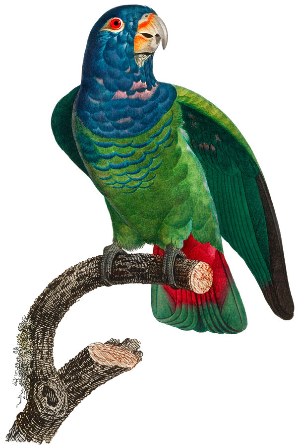 Parrot Print Antique Space Painting Vintage Drawing Poster Wall Art vintage animal parrot photo Tropical Parrot Art   Print