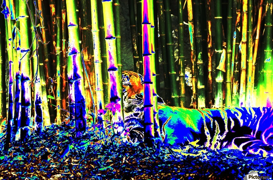 Tiger in a bamboo grove.  Print