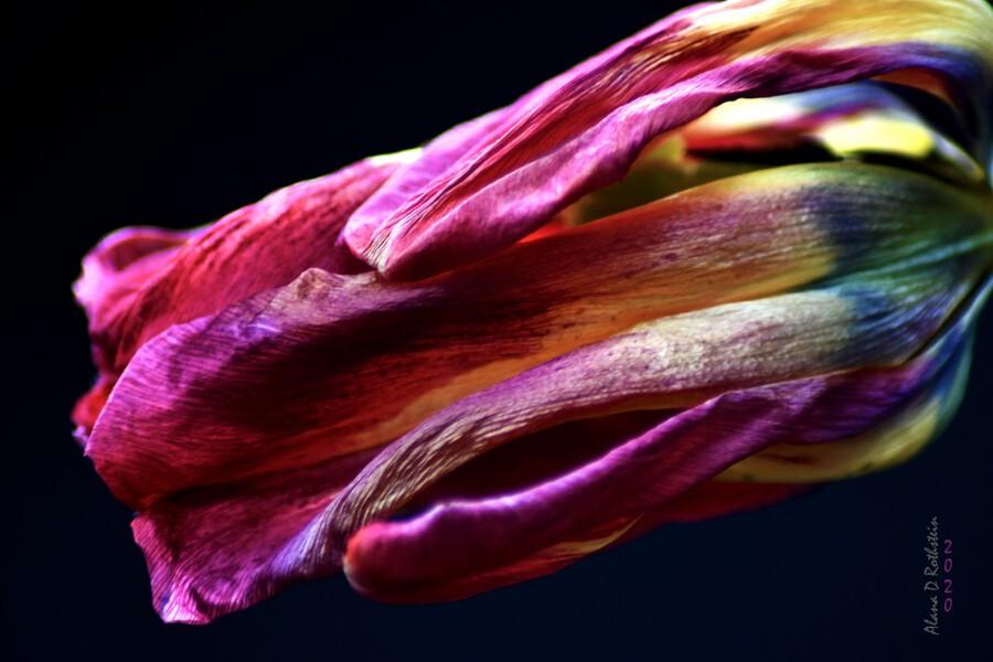 Tulip 3  Print