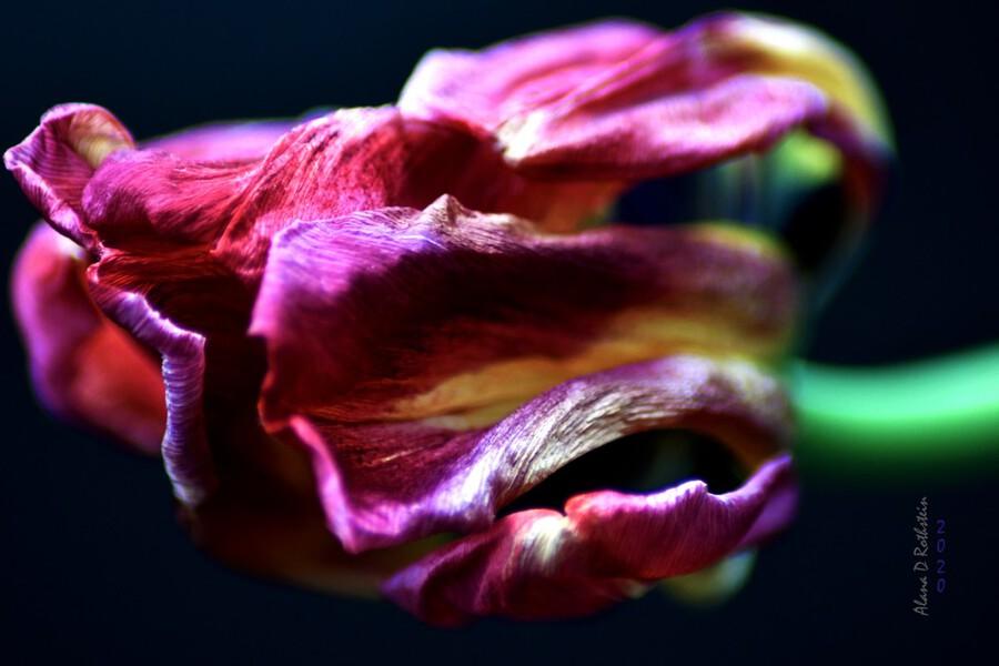 Tulip 5  Print