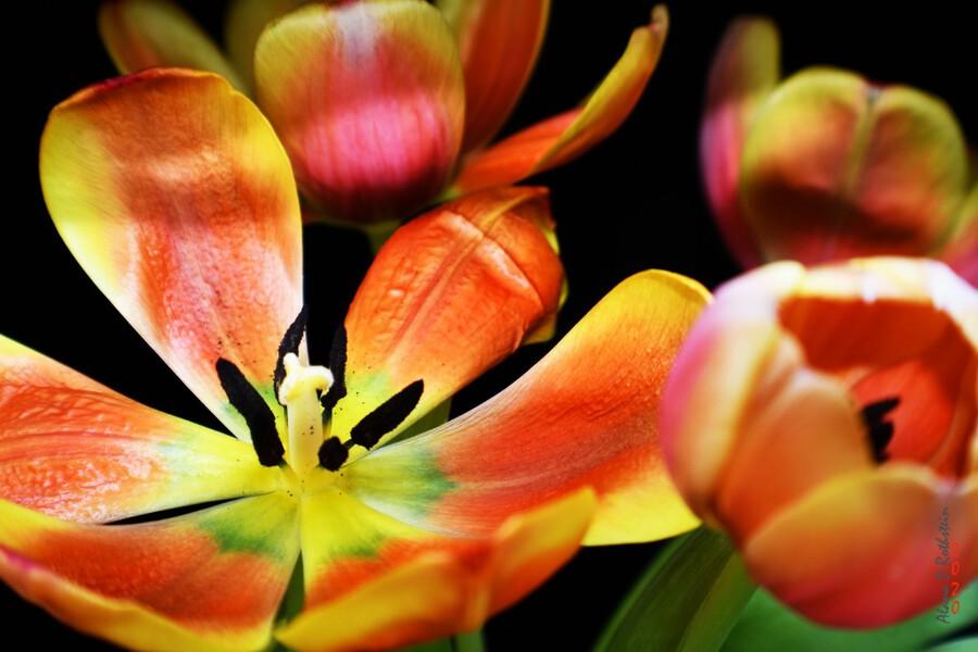 Tulip 1  Print