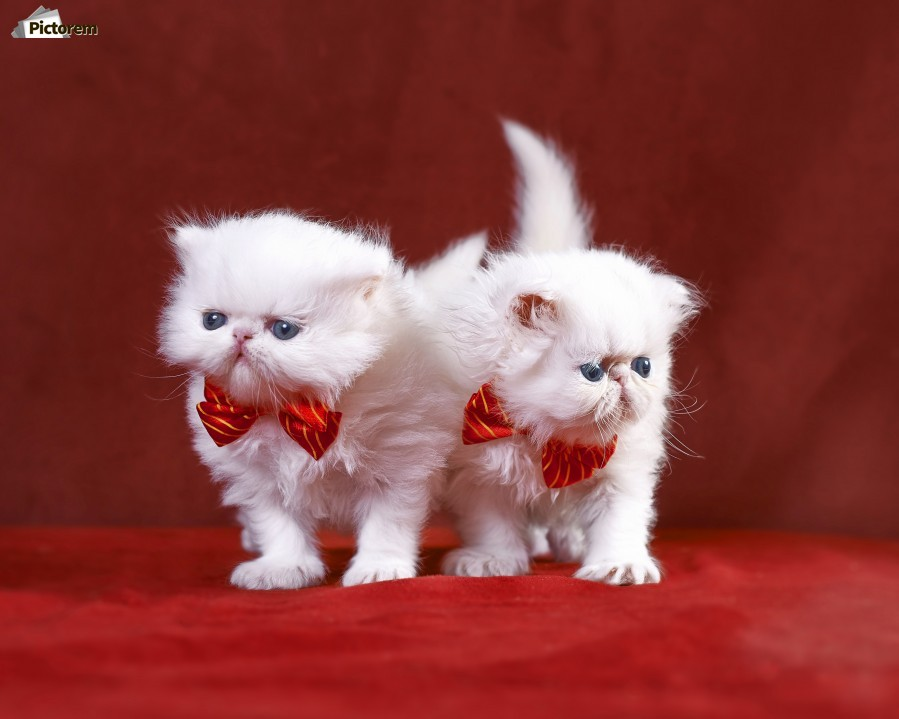 White Persian Kittens with bow ties  Print
