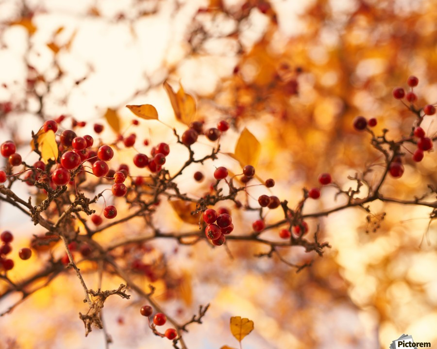 Winterberries in golden light  Print