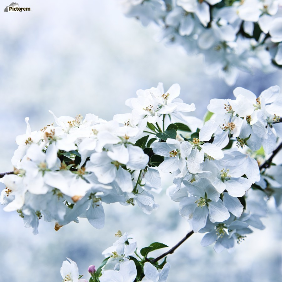 Cherry tree flowers  Print