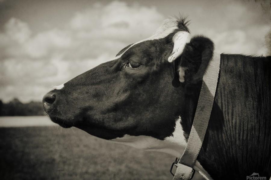 Portrait of a Cow  Print