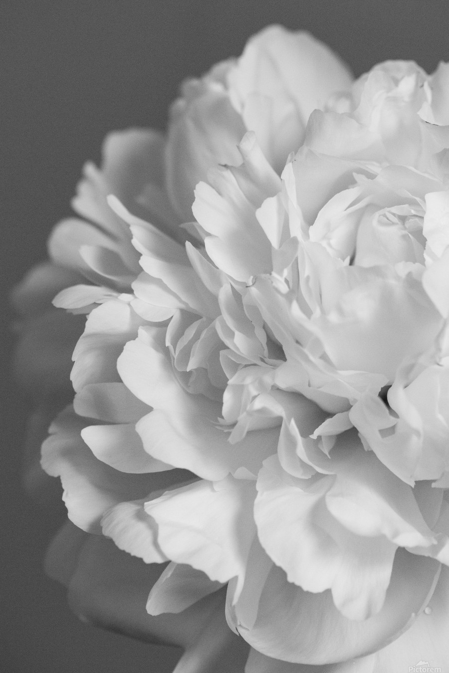 Peony in Black & White  Print