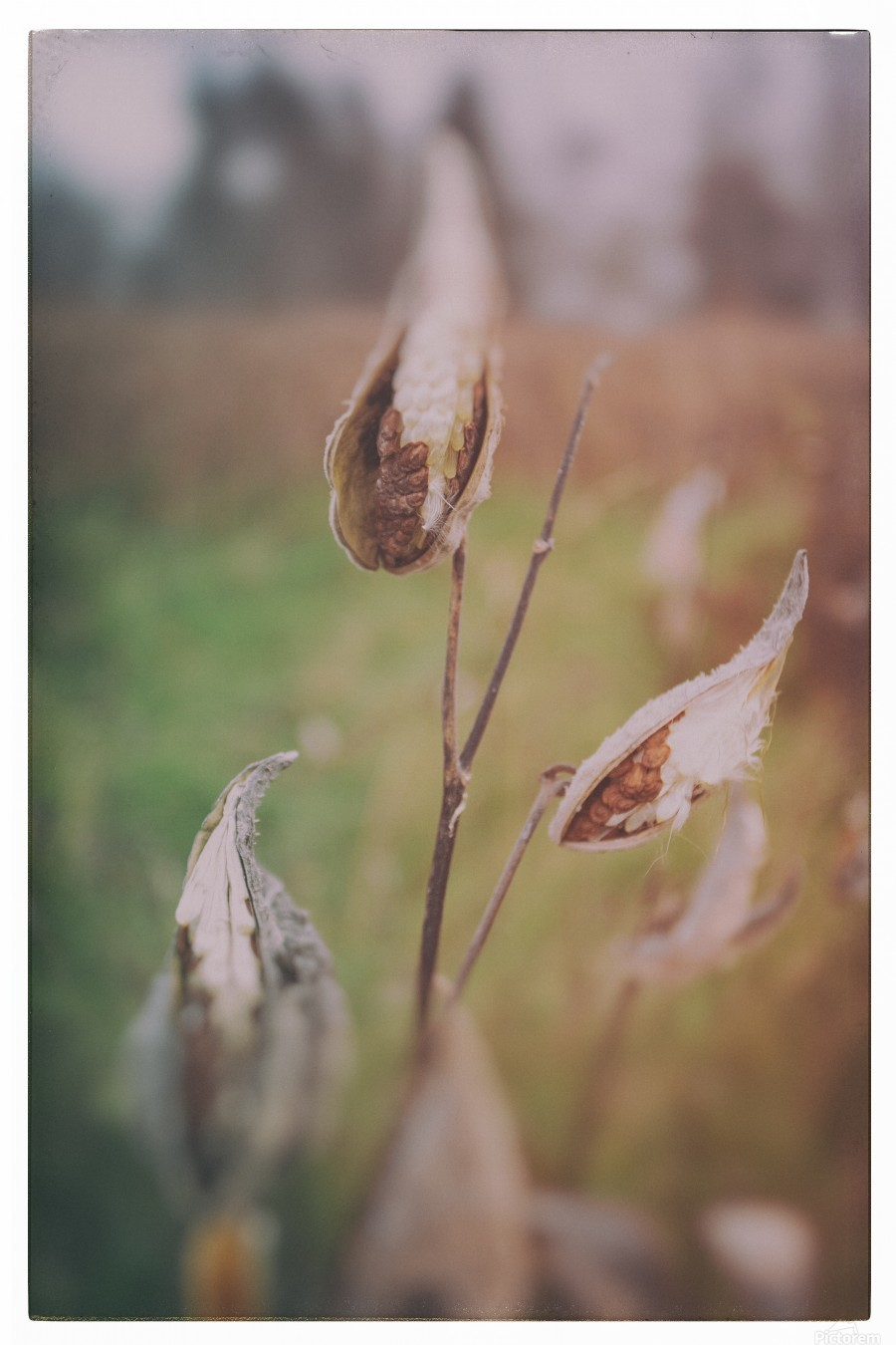 Milk Weed in the Fall  Print