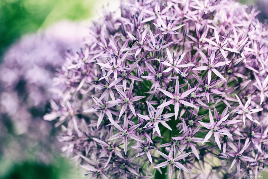 Allium in Bloom  Print