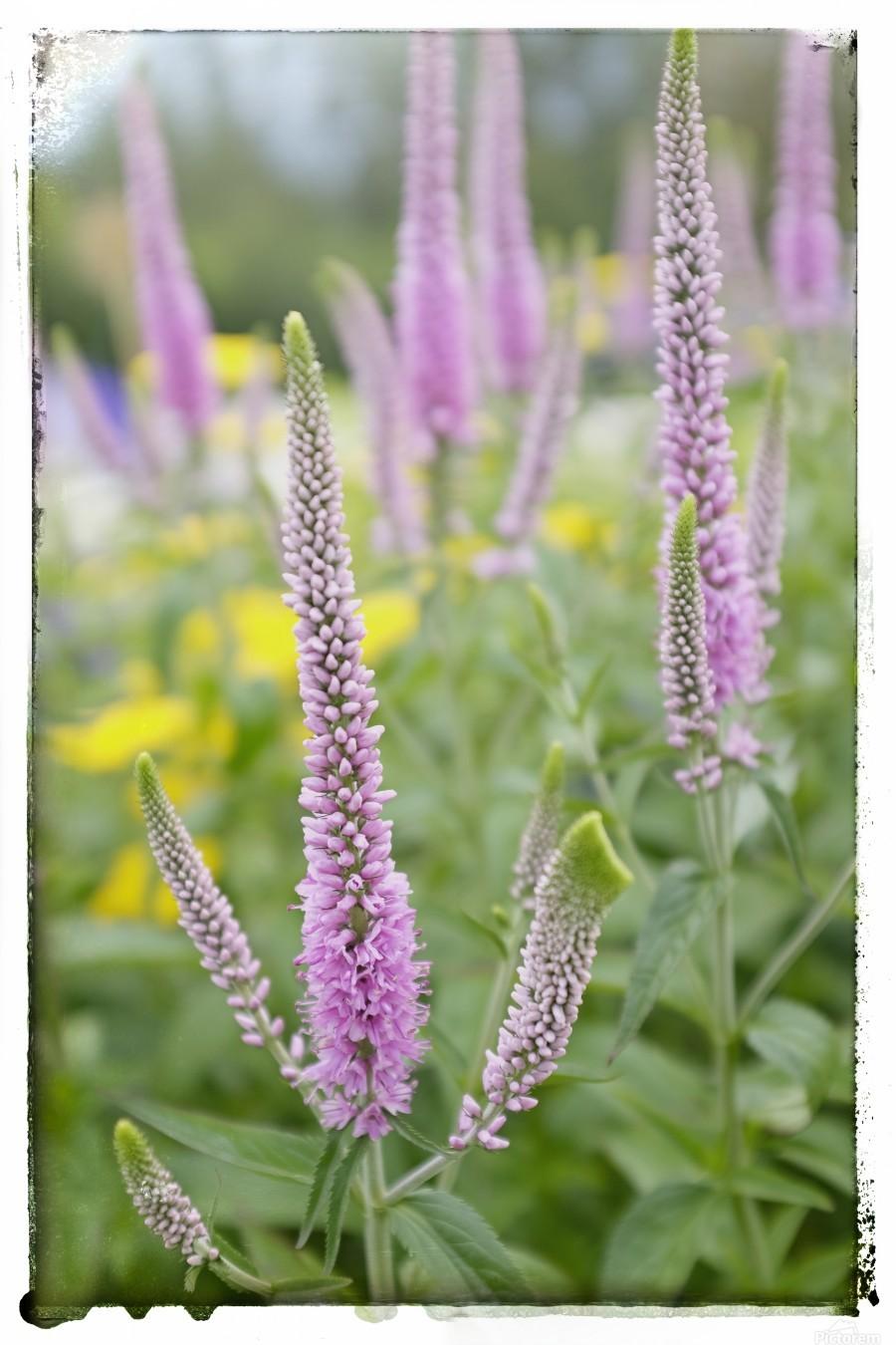 Cone Flowers  Print