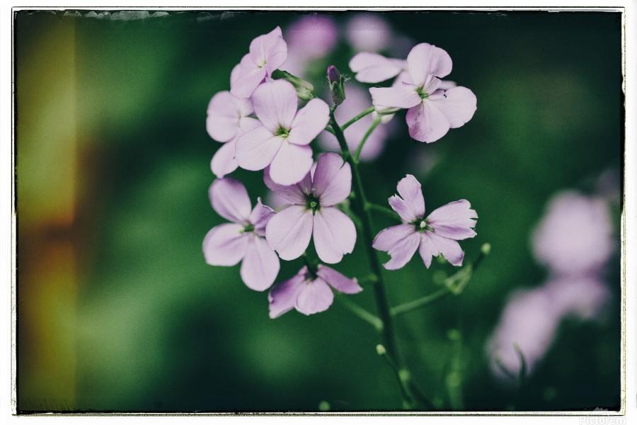 Phlox in Bloom  Print