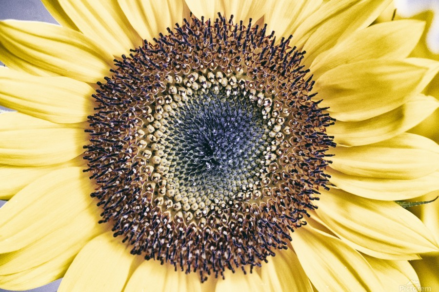 Sunflower Close Up  Print