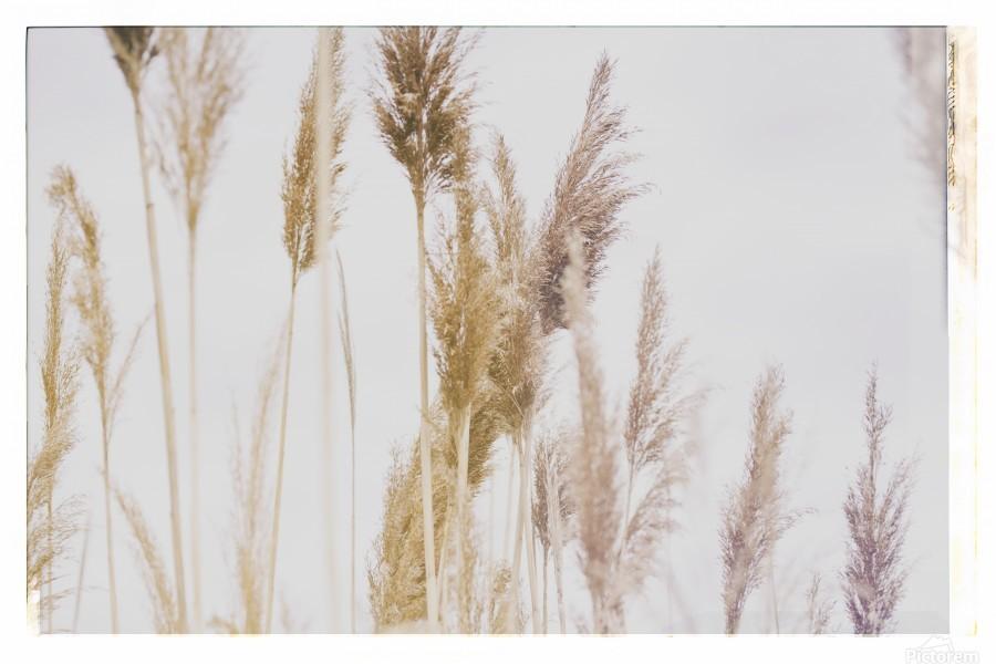 Tall Grass  Print