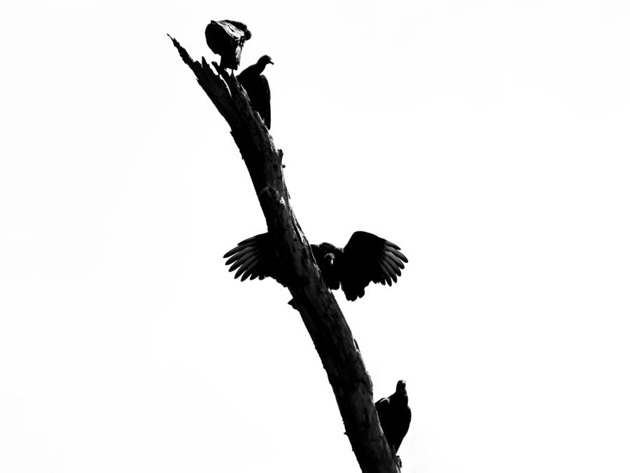Vultures  Print