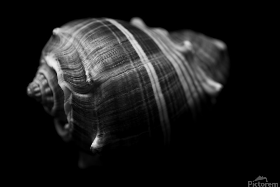 Series of shells  Print