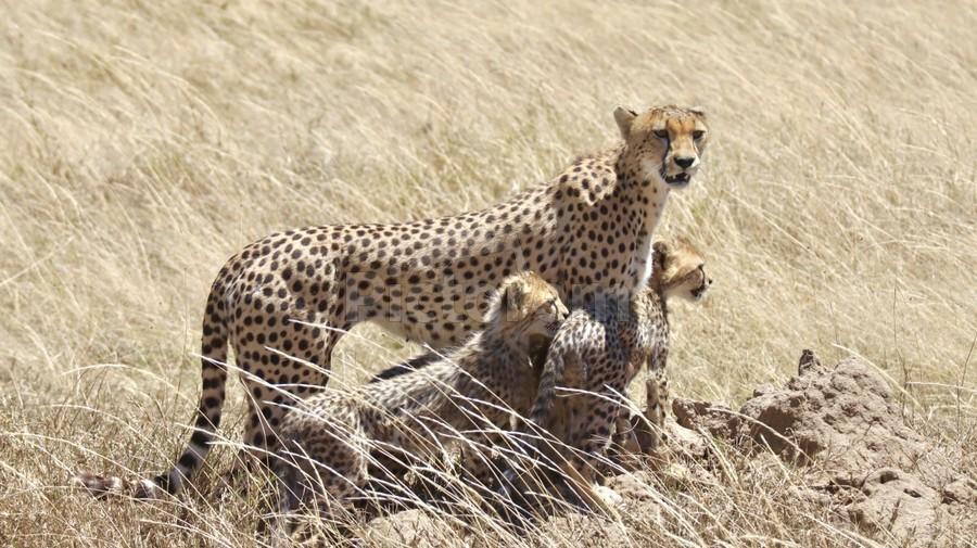 Mama Cheetah  Print