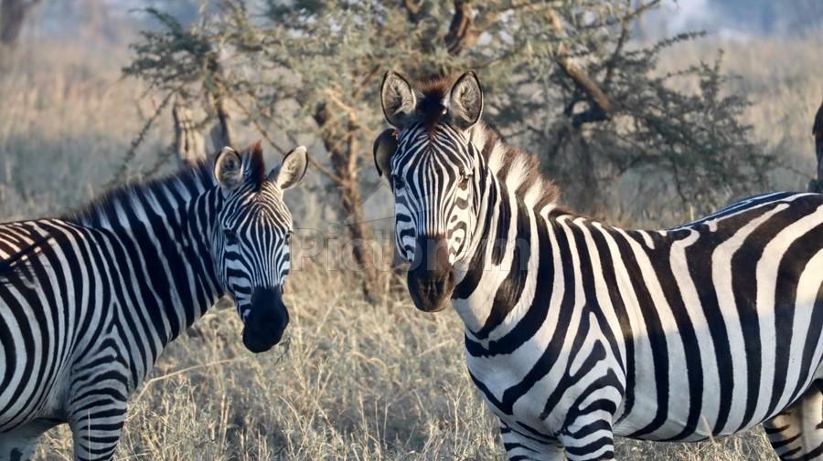Zebras  Print