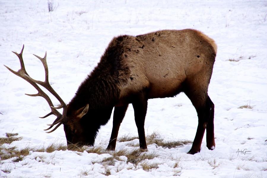 Elk in Wyoming  Print