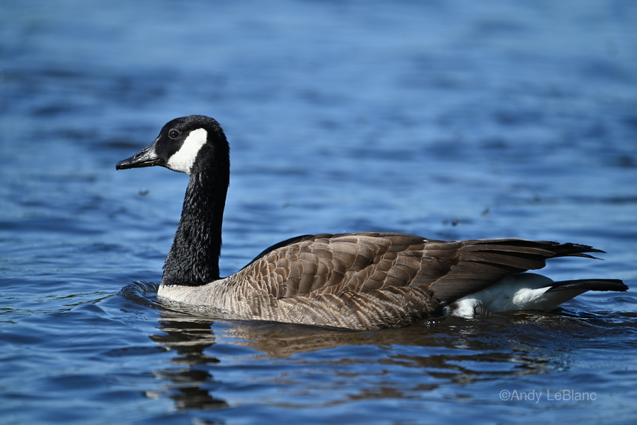 Canada Goose on water  Print