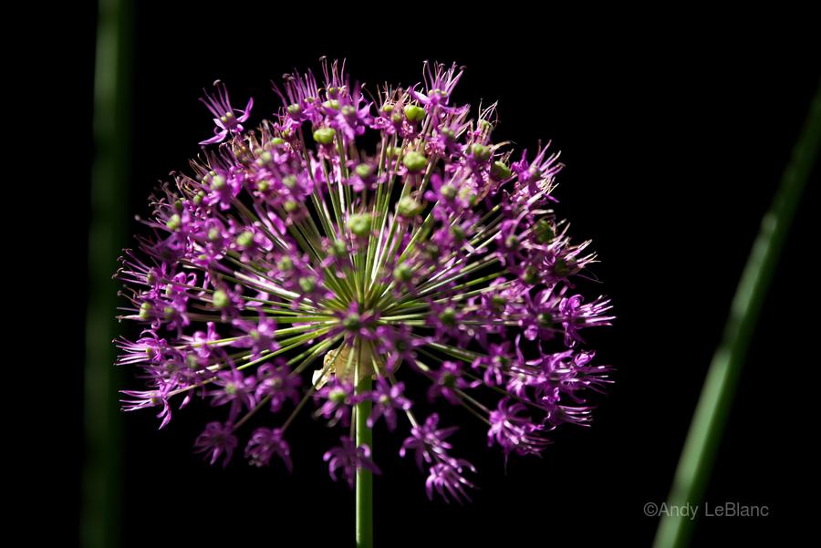 Purple Allium  Print