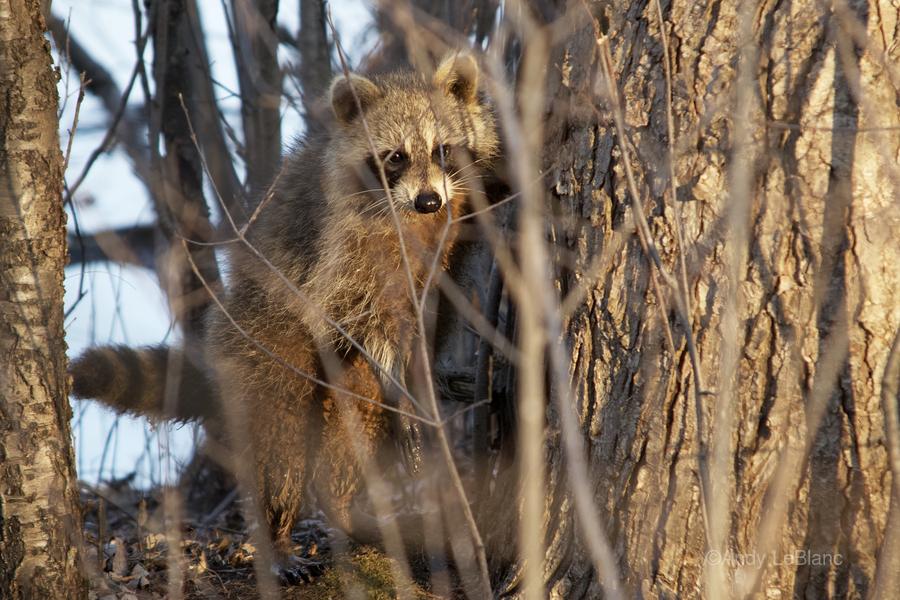 Racoon peeking through twigs  Print