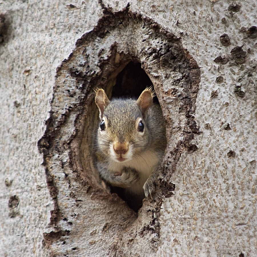 Squirrel in tree hole  Print