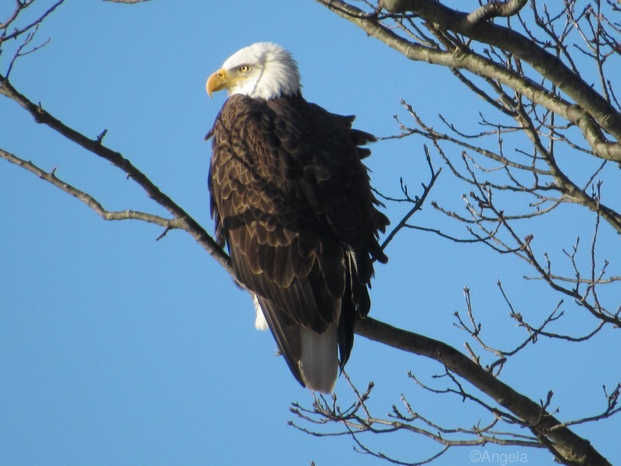 Bald Eagle Sitting on a Branch  Print