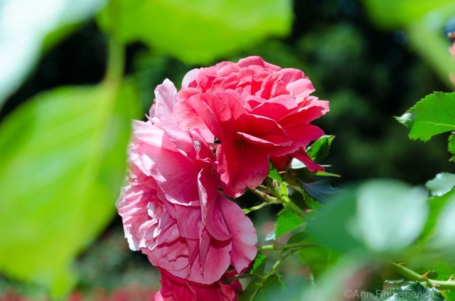 Rose Name  Print