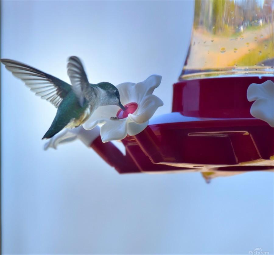 Oiseau-mouche  Imprimer