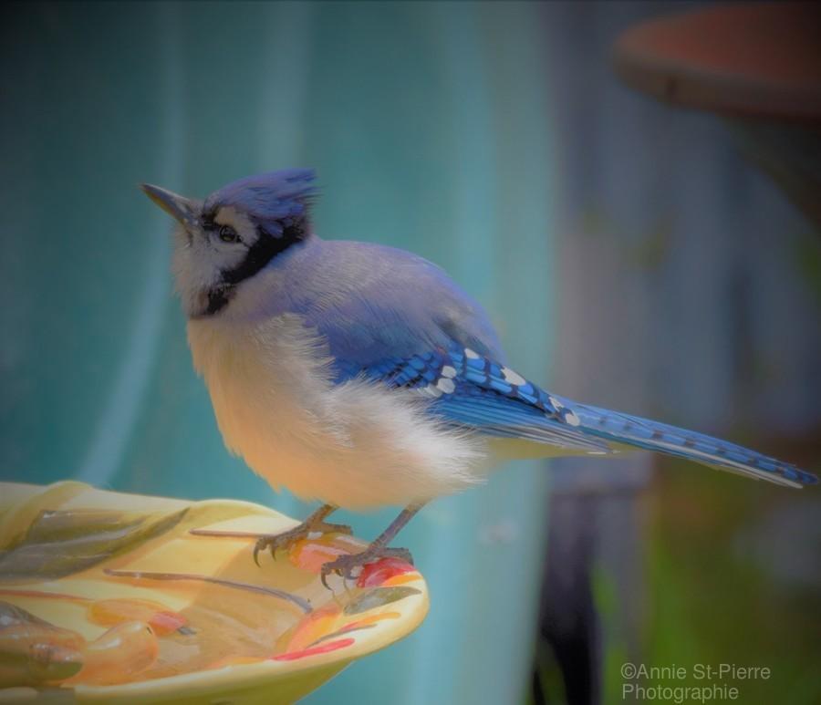 Geai bleu  Print